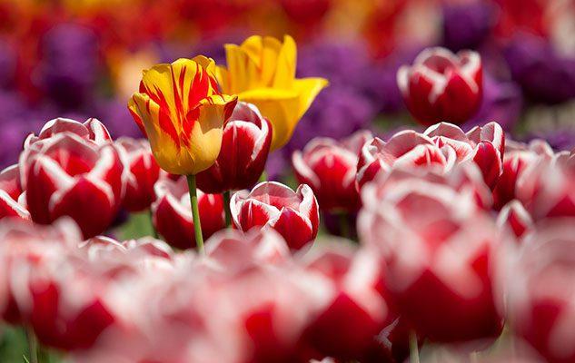Fiori 1 Maggio.Messer Tulipano Il Linguaggio Dei Fiori 2 Aprile 2016 1