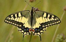"""Il """"sentiero delle farfalle"""" a Valdieri, dove vive la rara e bellissima Papilio Alexanor"""