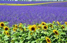 Demonte ed i sentieri della lavanda… il Piemonte come la Provenza