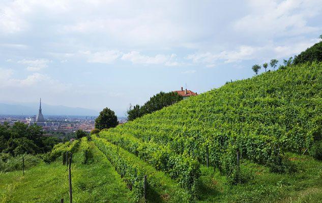 La Vendemmia a Torino – Grapes in Town