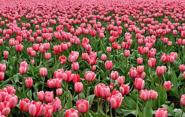 Messer Tulipano 2018 al Castello di Pralormo – Il Parco si tinge di Rosa
