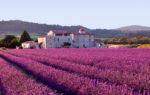 La fioritura della lavanda 2019 dal Piemonte alla Provenza: i luoghi e le feste da non perdere