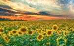 I Campi di Girasoli in Piemonte: lo spettacolo dei colori caldi e dorati dell'estate