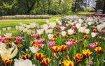 Messer Tulipano 2020 è online: passeggiate virtuali nel parco tra 100mila narcisi e tulipani