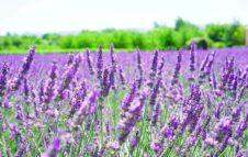 Castelnuovo Don Bosco: il fascino della lavanda in fiore sulle colline del Monferrato