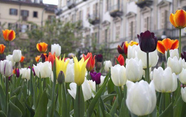 Messer Tulipano torna a Torino per piantare i bulbi di tulipano (ANNULLATO)