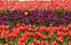 Tuliparty: alle porte di Torino il parco con oltre 100.000 tulipani colorati