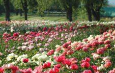 Peonie in Fiore 2021: alle porte di Torino torna l'appuntamento floreale con 4mila piante